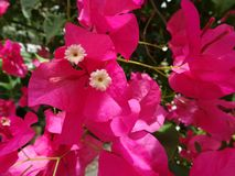 fleurs de bouganvillée de roses indien Photos libres de droits