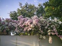 Fleurs de bouganvillée sur une barrière de mur photo libre de droits