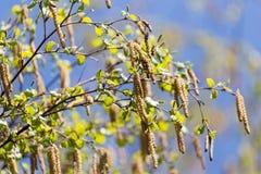 Fleurs de bouleau en nature Images libres de droits