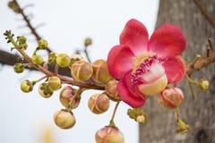 Fleurs de boulet de canon Photo stock