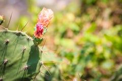 Fleurs de bourgeonnement de beau cochenillifera d'opuntia L'opuntia cochen Image stock
