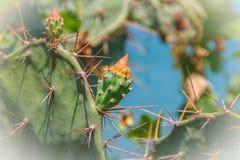 Fleurs de bourgeonnement de beau cochenillifera d'opuntia L'opuntia cochen Photos libres de droits