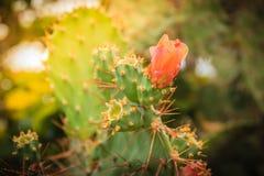 Fleurs de bourgeonnement de beau cochenillifera d'opuntia sur l'arbre Opunti Image stock
