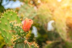 Fleurs de bourgeonnement de beau cochenillifera d'opuntia sur l'arbre Opunti Photo stock
