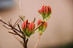 Fleurs de bourgeons de rhododendron rouge devant la maison photographie stock