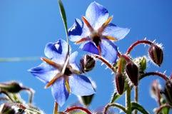 Fleurs de bourrache Photographie stock libre de droits