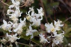 Fleurs de brachiata de Joy Clematis de voyageur Photographie stock