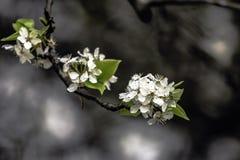 Fleurs de Bradford Pear photo stock