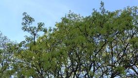 Fleurs de branche d'arbre d'érable contre le ciel bleu 4K banque de vidéos