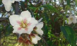 Fleurs de Brebre images libres de droits