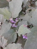 Fleurs de brinjal Photographie stock libre de droits