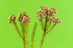 Fleurs de Brunia sur le fond vert clair Photos libres de droits