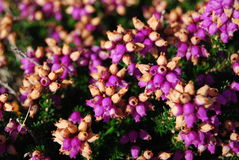 Fleurs de bruyère Images stock