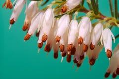 Fleurs de bruyère pourprée Photos stock