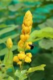 Fleurs de Bush de bougie, buisson de candélabres Photographie stock libre de droits