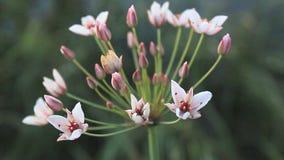Fleurs de Butomus Umbellatus banque de vidéos