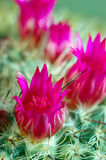 Fleurs de cactus Photo stock