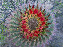 Fleurs de cactus photos stock
