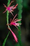 Fleurs de cactus Images libres de droits