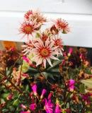 Fleurs de cactus Photographie stock