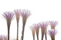 Fleurs de cactus Image libre de droits