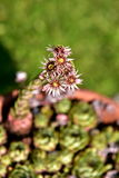 Fleurs de cactus Image stock