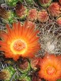 Fleurs de cactus d'hameçon Photos libres de droits