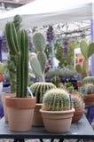 Fleurs de cactus dans des pots de fleurs Images libres de droits