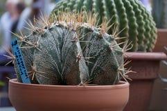 Fleurs de cactus dans des pots de fleurs Photos libres de droits