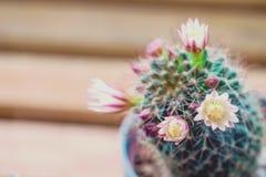 Fleurs de cactus de capensis de Mammillaria Photos libres de droits