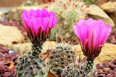 Fleurs de cactus de pelote à épingles photos stock