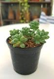 Fleurs de cactus de plante verte Photographie stock libre de droits
