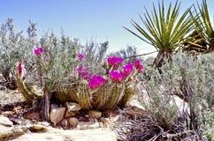 Fleurs de cactus de printemps, région rouge de conservation de roche, Nevada photo libre de droits
