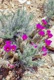 Fleurs de cactus de printemps, région rouge de conservation de roche, Nevada photo stock