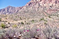 Fleurs de cactus de printemps, région rouge de conservation de roche, Nevada images stock