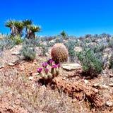 Fleurs de cactus de printemps, région rouge de conservation de roche, Nevada images libres de droits