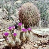Fleurs de cactus de printemps, région rouge de conservation de roche, Nevada photographie stock