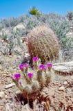 Fleurs de cactus de printemps, région rouge de conservation de roche, Nevada image stock