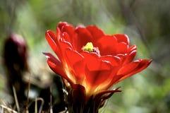 Fleurs de cactus de tasse de claret photo libre de droits