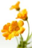Fleurs de Calendula Image libre de droits
