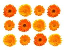 fleurs de calendula Image stock