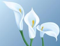 Fleurs de calla Photographie stock libre de droits