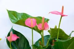 Fleurs de calla photo stock