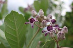 Fleurs de Calotropis, fleurs pourpres Images libres de droits