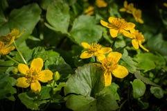 Fleurs de Caltha Images stock