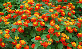 Fleurs de camara de Lantana Photo stock