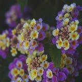 Fleurs de camara de Lantana photographie stock