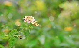 Fleurs de camara de Lantana dans le jardin vert avec le fond de bokeh photographie stock