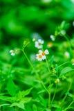 Fleurs de Camomiles Image libre de droits