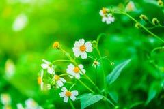 Fleurs de Camomiles Photos stock
